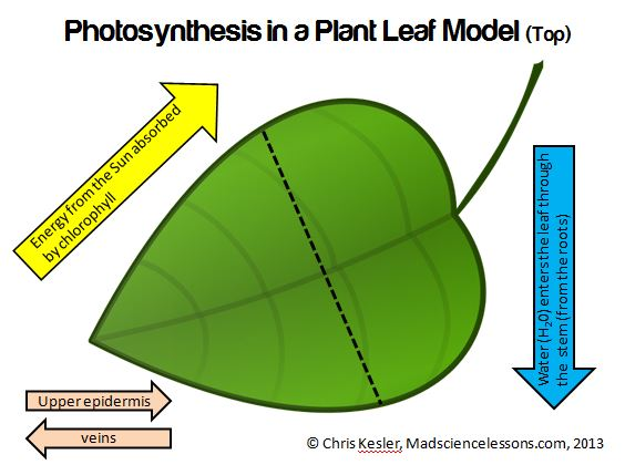 Teach photosynthesis with a 3d tree leaf model freebie kesler i also feel like this could be valuable time that you could be reinforce concepts on photosynthesis ccuart Gallery
