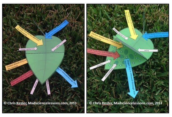 Translations Into Italian: Teach Photosynthesis With A 3D Tree Leaf Model