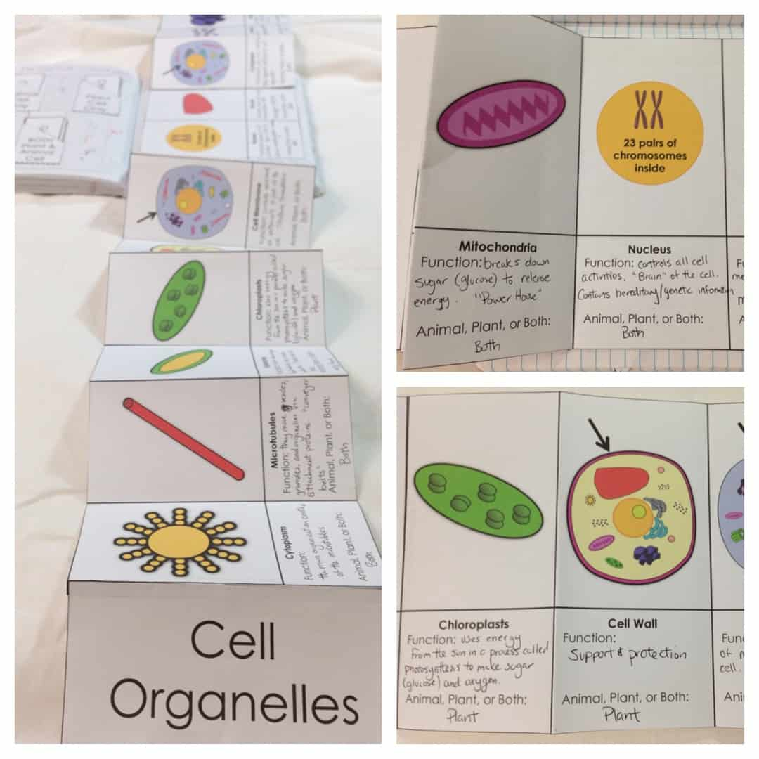 Structure Of Life Interactive Notebook Inb Pages Kesler Science Animal Cell Diagram Worksheet Also And Plant Organelle Fold Out For Journals